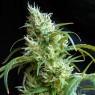 Flash Back 2 (Sweet Seeds)