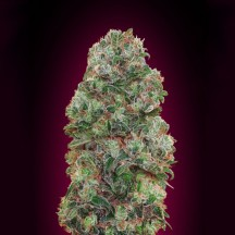 Bubble Gum (00 Seeds)