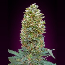 Auto Bubble Gum (00 Seeds)