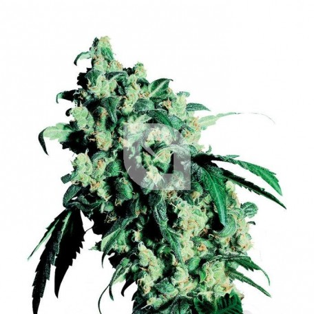 Super Skunk Feminizada (Sensi Seeds)