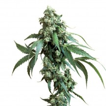 Jack Flash 5 Feminizada (Sensi Seeds)