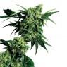 G13 x Hashplant Regular (Sensi Seeds)