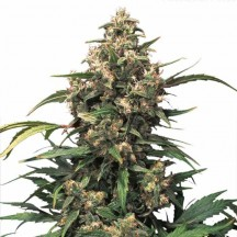 Auto Xtreme (Dutch Passion)