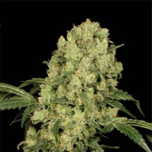 Ak-47 regular (Serious Seeds)