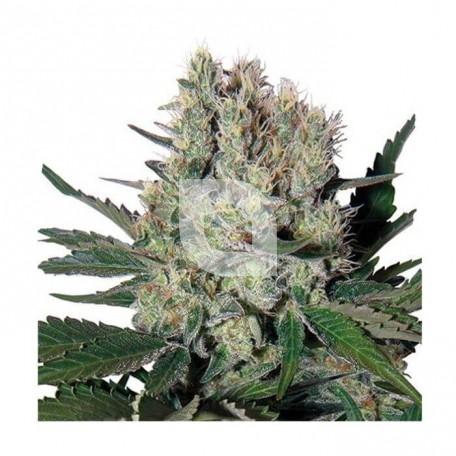 Syrup Auto (Buddha Seeds)