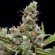 CBD Blue Shark (Barney´s Farm)