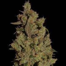 CBD Critical Cure (Barney´s Farm)