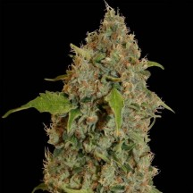 Chronic Thunder (Barney´s Farm)
