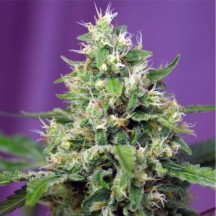 Blow Mind Auto (Sweet Seeds)