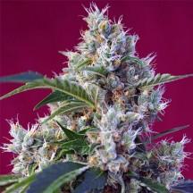 Indigo Berry Kush (Sweet Seeds)