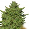 Amnesia Lemon (Barney´s Farm)