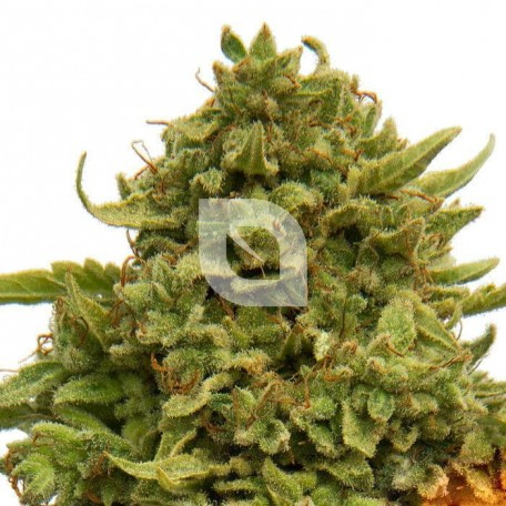Pineapple Chunk (Barney´s Farm)
