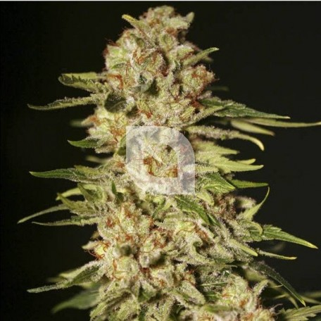 Papa´s Candy (Eva Seeds)