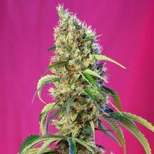 Black Jack CBD (Sweet Seeds)