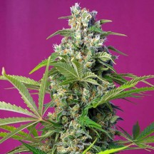 Gorilla Girl (Sweet Seeds)