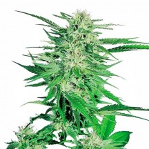 Big Bud Feminizada (Sensi Seeds)