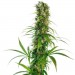 Michka LTD Feminizada (Sensi Seeds)