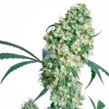 Ed Rosenthal Super Bud (Sensi Seeds)
