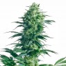 Mother´s Finest Regular (Sensi Seeds)