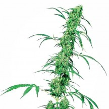 Fruity Juice Regular (Sensi Seeds)