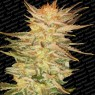 Ice Cream (Paradise Seeds)