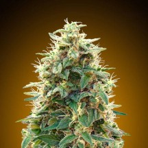Auto 00 Cheese (00 Seeds)
