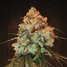Golden Tiger Regular (Ace Seeds)