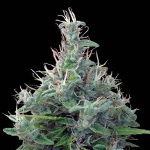 Líbano Regular (Ace Seeds)