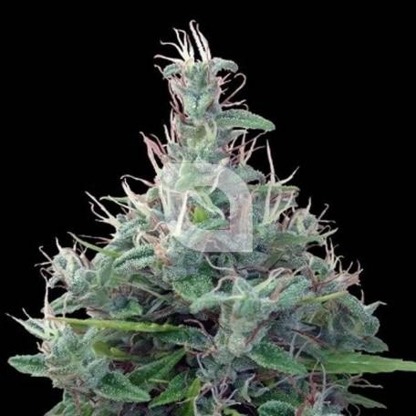 Líbano Regular (Ace Seeds)