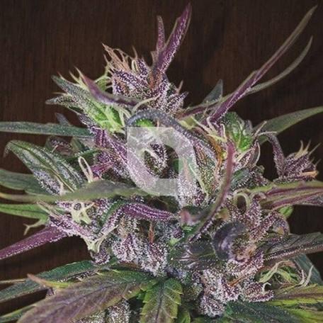 Oldtimer's Haze Regular (Ace Seeds)