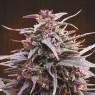 Purple Haze x Malawi Regular (Ace Seeds)