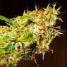 Zamaldelica Regular (Ace Seeds)