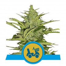 Fast Eddy Automatic CBD (Royal Queen Seeds)