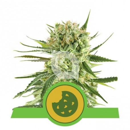 Royal Cookies Automatic (Royal Queen Seeds)
