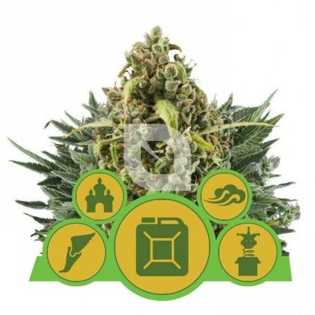 Mix Autoflorecientes (Royal Queen Seeds)