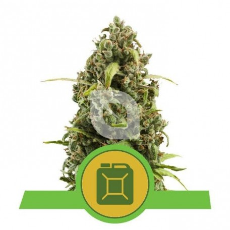 Diesel Automatic (Royal Queen Seeds)