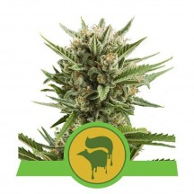 Sweet Skunk Automatic (Royal Queen Seeds)