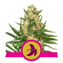 Fat Banana (Royal Queen Seeds)
