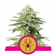 White Widow (Royal Queen Seeds)