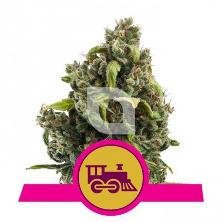 Candy Kush Express - Fast Flowering (Royal Queen Seeds)