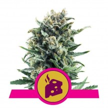 Blue Cheese (Royal Queen Seeds)