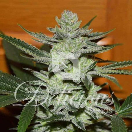 Desconocida Kush (Delicious Seeds)