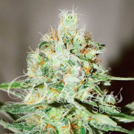 Jagg Kush (Delicious Seeds)