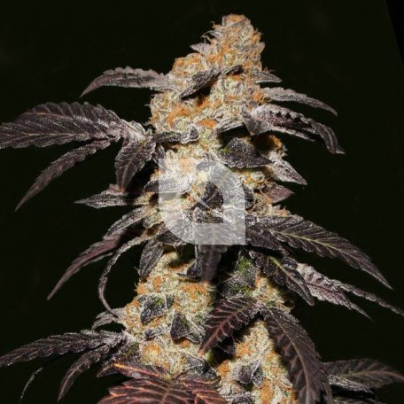 French Cookies (TH Seeds)