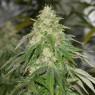 Some Sweet (Medical Seeds)