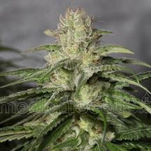 OG Kush CBD (Medical Seeds)