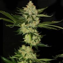 Underdawg Kush (TH Seeds)