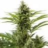 Haze Plant granel Feminizada