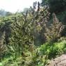 Mangobiche Regular (Ace Seeds)