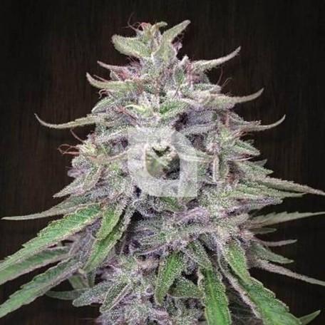 Bangi Haze Feminizada (Ace Seeds)